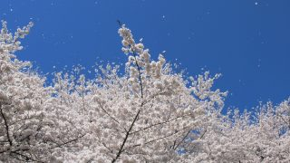 【大阪杯2017予想】桜の季節に桜が満開!サクラアンプルール