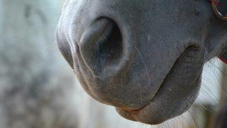 【AJCC2018】ブラックバゴ、鼻出血により回避